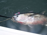 Southport fishing giant bluefin tuna