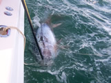 bald head island tuna