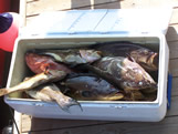 cooler full of Southport grouper
